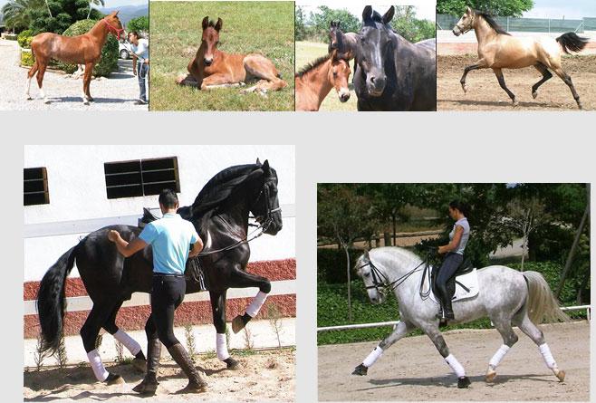 Miriam Frenk Spanish Horses