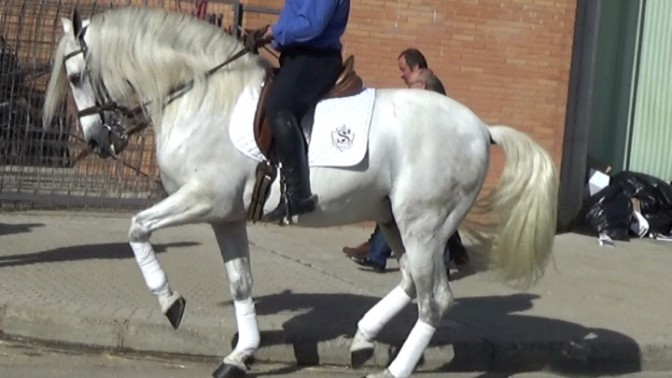 andalusian for sale