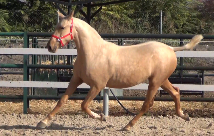 how to train an andalusian horse