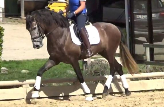 Young Spanish Dressage horse