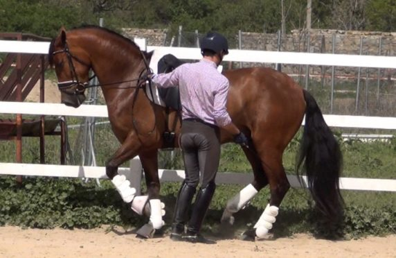 Andalusian dressage piaffe in hand