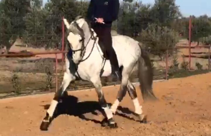 Reiner SpanischerRasse Reitpferd