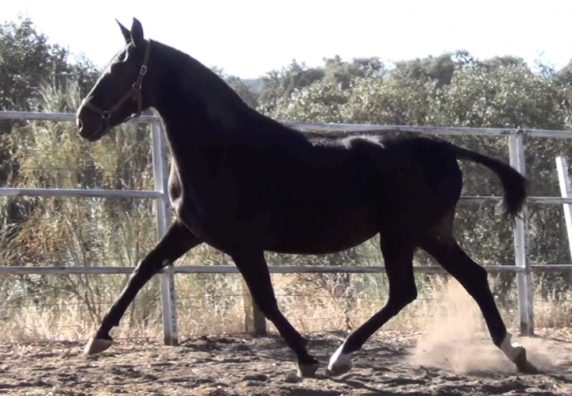 Black Andalusian mare