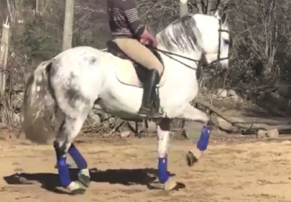 Andalusian highschool trained gelding