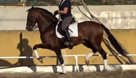 Spanish PSG dressage horse