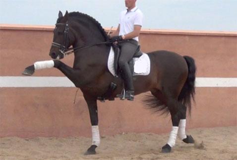 high-school-trained-PRE-stallion
